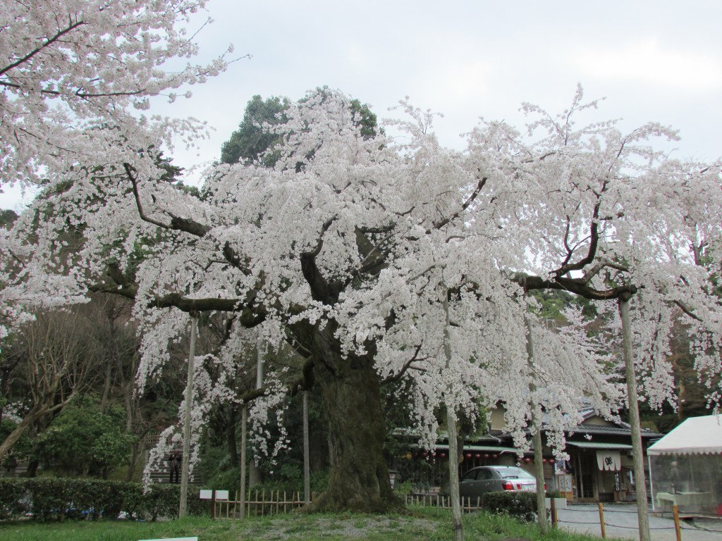 A weeping cherry tree in Maruyama Park.