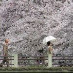 Yet another sakura season comes and goes too quickly
